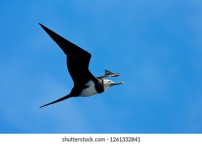 Immature Ascension Frigatebird (Fregata aquila) flying against a blue sky as a background in Ascension island. Patrolling the island to steal food from other birds.
