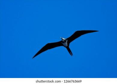 Immature Ascension Frigatebird (Fregata aquila) in flight over Ascension island in the center of the Atlantic ocean on the equator