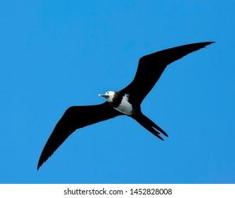Immature Ascension Frigatebird (Fregata aquila) flying against a blue sky as a background in Ascension island.