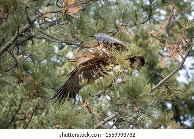 An immature bald eagle flies off from a branch near Coeur d'Alene, Idaho.