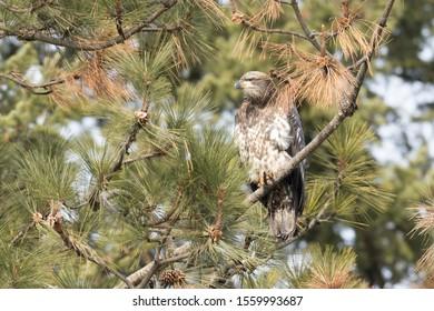 An immature bald eagle is perched on a branch near Coeur d'Alene, Idaho.