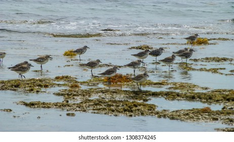Immature black bellied plovers wade in the shallows at Bear Cut Trail, Key Biscayne. They are searching for shellfish & minnows to eat.