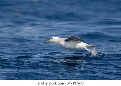 An immature Black-browed Albatross (Thalassarche melanophrys) taking off from the sea, off Cape Point, South Africa