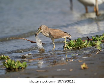 An immature Black-crowned Night Heron (Nycticorax nycticorax) attempts to swallow a plastic bag carelessly discarded with fish inside, Lake Chapala.