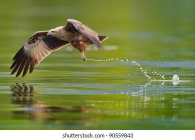 immature brahminy kite hunting in the lake