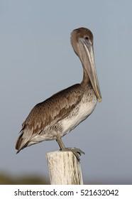 Immature Brown Pelican (Pelecanus occidentalis)  Perched on a Dock Piling - Florida