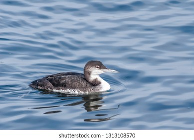 Immature Common Loon (Gavia immer) in Bodega Bay area, California, USA