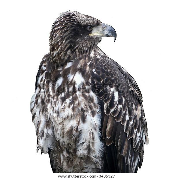 Immature female bald eagle on white