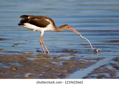Immature Glossy Ibis (Plegadis falcinellus) catching and eating an eel at Ft. Desoto Park near St. Pete Beach, Florida.