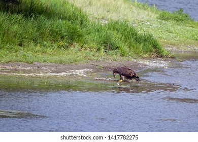 Immature Golden Eagle beside the Missouri River in Montana