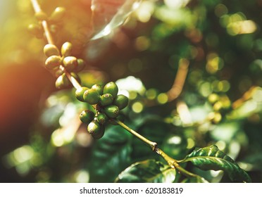Immature green coffee cherries ont he branch which are the source of coffee beans. Arabica. Ethiopia. Africa.