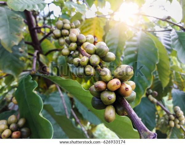 Immature green coffee on coffee tree.