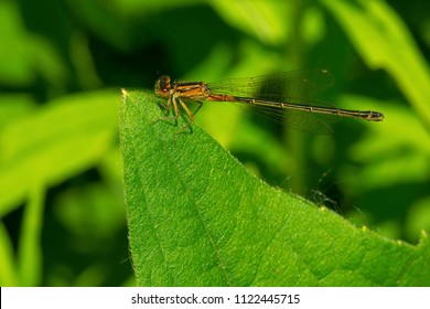 Immature heteromorph female Eastern Forktail Damselfly perched on a leaf. Todmorden Mills, Toronto, Ontario, Canada.