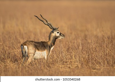 An immature male Blackbuck (Antilope cervicapra) also known as Indian Antelope standing in dry grassland, Gujarat, India