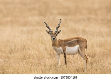 An immature male Blackbuck (Antilope cervicapra) also known as Indian Antelope, standing in natural dry grassland, Gujarat, India