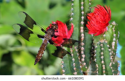 An immature male Common Whitetail dragonfly (Plathemis Lydia) at flowering cactus.