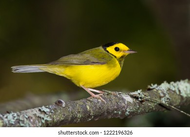 An immature male Hooded Warbler perching on a tree branch