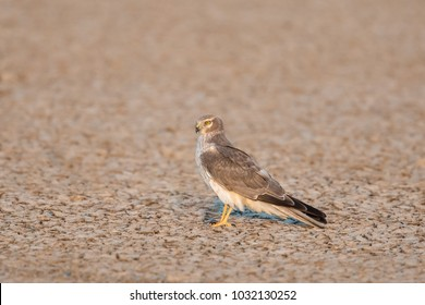 An immature male Pallid Harrier (Circus macrourus) perched on the ground isolated against a blurred background, Gujarat, India