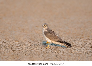 An immature male Pallid Harrier (Circus macrourus) perched on the ground, looking at the camera, isolated against a blurred background, Gujarat, India
