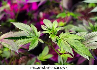 Immature medical marijuana plants at an indoor grow operation.