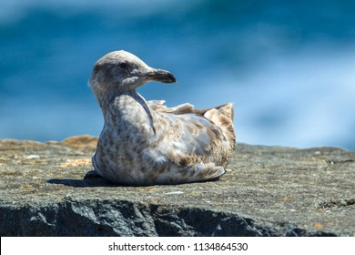 Immature mew gull, larus canus, perches on a rock near Garibaldi, Oregon.