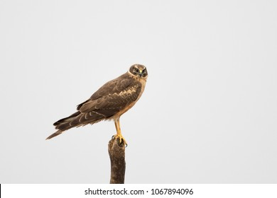 An immature Pallid Harrier (Circus macrourus) perched on a dead tree against a plain white background, Gujarat, India