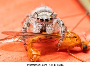 Immature Phidippus mystaceus jumping spider having lunch on a flying insect