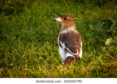 Immature Pied Butcherbird. Young or female Australian native songbird. Brown and white bird looks over shoulder at the viewer in New South Wales.