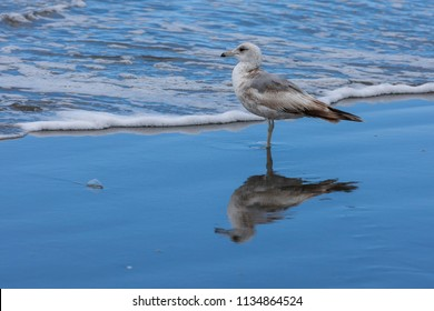 An immature ring billed gull, larus delawarensis, on the beach in Seaside, Oregon.