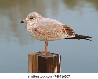 An immature Ring- billed Gull (Larus delawarensis) at Lake Erie's Port Conneaut, Ohio.