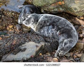 Immature Seal Pups