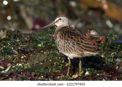 An immature Short-billed Dowitcher foraging among washed up sea weed on a California beach