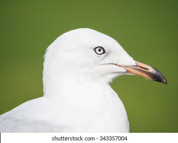 Immature silver gull Chroicocephalus novaehollandiae) head in profile with adult eyes and black eye ring with dark beak tip against background of green