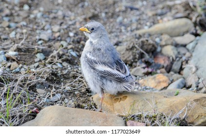 Immature Snow Bunting (Plectrophenax nivalis) On Rocky Ground at Spitsbergen, Norway