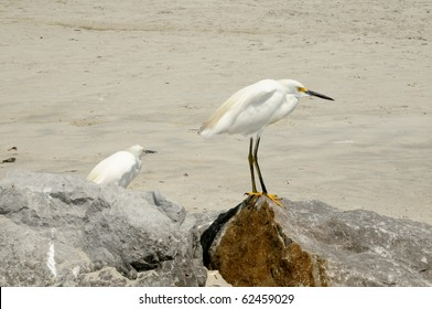 Immature Snow Egrets (Egretta Thula) enjoying the warm sun on New Smyrna Beach Florida.