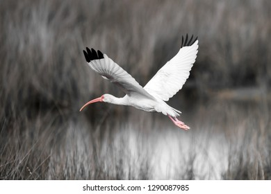 An immature white ibis in a salt marsh.