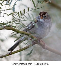 Immature white-crowned sparrow (Zonotrichia leucophrys) perched on a branch in the California desert near the Salton Sea
