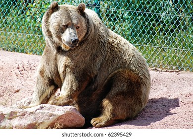 Immense grizzly bear on the alert