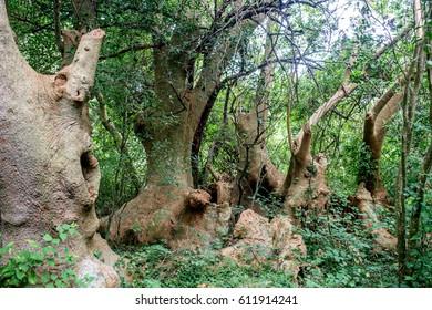 Immortal trees in Uruguay