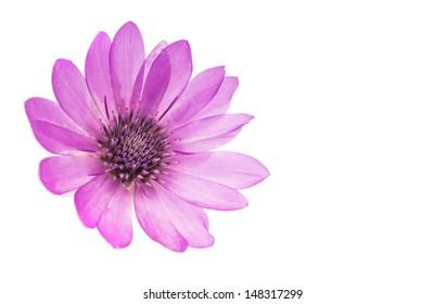 Immortelle flower isolated on white background