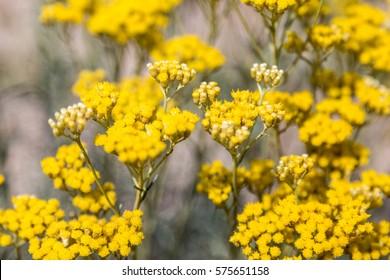 Immortelle, Helichrysum arenarium