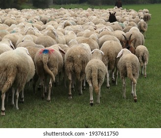 IMMUNITY of flock against diseases and viruses represented as many grazing sheep