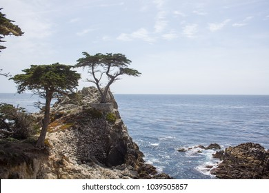 An immured tree at the monterey beach in california