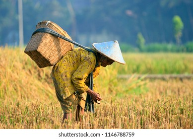 IMOGIRI YOGYAKARTA, July 8, 2010 - A farmer is harvesting their paddy plant in the field during dry season in Yogyakarta Indonesia, this paddy will process into rice for meal