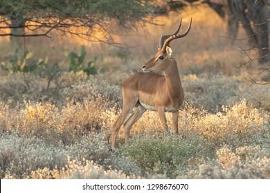 Impala (Aepyceros melampus) - In the Sage Grass