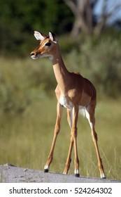 The impala (Aepyceros melampus), searching for danger