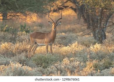 Impala (Aepyceros melampus) - Stag in Golden Light