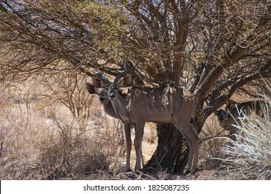 Impala in the african savannah