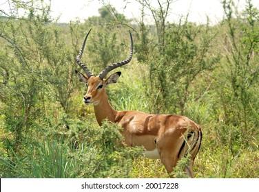 Impala in Akagera NP, Rwanda