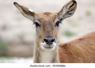 Impala antelope